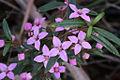 Sydney Boronia - Boronia ledifolia (7633967756).jpg