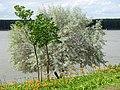 Sylvan Scene in Dunavska Gradina Park - Along the Danube - Silistra - Bulgaria (41318171520).jpg