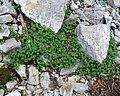 Synthyris ranunculina 1.jpg
