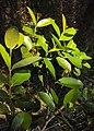 Syzygium caryophyllatum 01.JPG