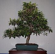 Syzygium smithii bons email.jpg