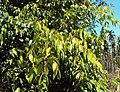 Syzygium zeylanicum 02.JPG