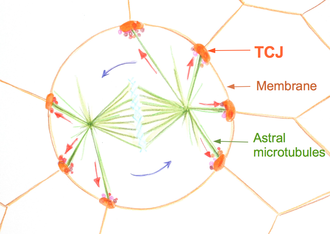 Spindle apparatus - Cartoon of the dividing epithelium cell surrounded by epithelium tissue. Spindle apparatus rotates inside the cell. The rotation is a result of astral microtubules pulling towards tri-cellular-junctions (TCJ), signaling centers localized at the regions where three cells meet.