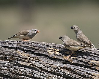 Zebra finch - Female with two juveniles in New South Wales, Australia