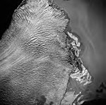 Taku Glacier, terminus of tidewater glacier, August 27, 1969 (GLACIERS 6174).jpg