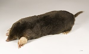 Mole (animal) - European mole
