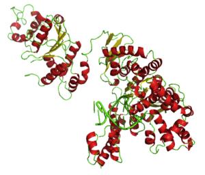 Taq polymerase - DNA polymerase bound to a DNA octamer
