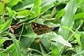 Taractrocera ceramas – Tawny-spotted Grass Dart - Tamil Grass Dart. 04.jpg