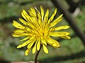 Taraxacum officinale - Commmon Dandelion at Chelela Pass during LGFC - Bhutan 2019 (6).jpg