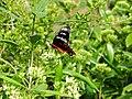 Tarenna asiatica1111.jpg