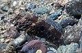 Target shrimpgoby (Cryptocentrus strigilliceps) (26377391878).jpg