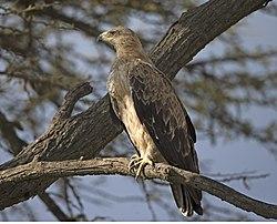 Tawny Eagle (Aquila rapax) (20531189863).jpg