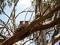 Tawny Frogmouth chicks (6946021832).jpg