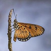 Papillon nymphalidé de l'espèce indomalaise Acraea terpsicore. (définition réelle 2572×2572)
