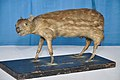 Taxidermied Mouse Deer - Palta - North 24 Parganas 2012-04-11 9579.JPG