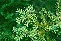 Taxus canadensis 1-eheep (5098081982).jpg
