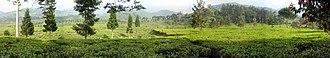 Puncak - Tea plantation on Puncak