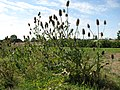 Teasels (Dipsacus spec.) growing in The Cottage Garden - geograph.org.uk - 538492.jpg