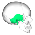 Temporal bone lateral.png