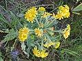 Tephroseris palustris kz02.jpg
