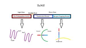 Tetanus Neurotoxin.png