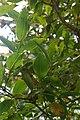 Tetrataxis salicifolia, Conservatoire botanique national de Brest 03.jpg