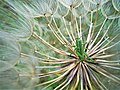 Tettigonia viridissima, Spomen park Bubanj 2.jpg