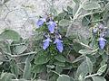 Teucrium fruticans Azureum (8936611639).jpg