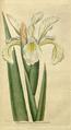 The Botanical Magazine, Plate 61 (Volume 2, 1788).png