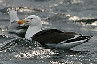 The Great Black-backed Gull - Larus marinus - geograph.org.uk - 1416037.jpg