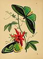 The cabinet of oriental entomology (Pl. 11) (5974847124).jpg
