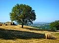 The oak tree.jpg