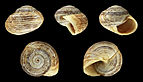 Theba geminata fossil 01.JPG