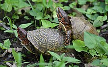 Photograph of a male turtle mounting a female