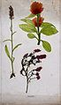 Three flowering plants, including common heather (Calluna vu Wellcome V0043938.jpg