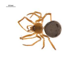 <i>Thymoites</i> Genus of spiders
