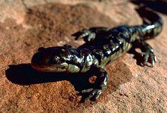 240px tiger salamander ambystoma tigrinum