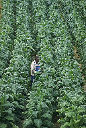 Broadleaf tobacco inspected in Chatham, Virgin...