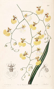 Tolumnia urophylla (as Oncidium urophyllum) - Edwards vol 28 (NS 5) pl 54 (1842).jpg