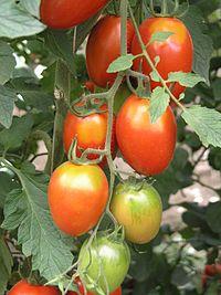 Tomate mit Grünkragen