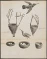 Topaza pella - met nest - 1734-1765 - Print - Iconographia Zoologica - Special Collections University of Amsterdam - UBA01 IZ19100243.tif