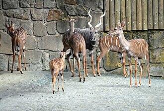 Lesser kudu - Herd of lesser kudu in Dvůr Králové Zoo