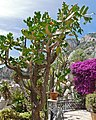 Tree Opuntia (Consolea falcata), almost extinct in the wild with around 10 specimen left in a single locality of the North-western coast of Haiti ... (35367144840).jpg