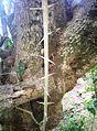 Trees Canthium inerme - perpendicular thorns.JPG