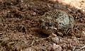 Tremolo Sand Frog (Tomopterna cryptotis) (5984078217).jpg