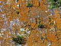 Trentepohlia on beech bark - Flickr - S. Rae.jpg