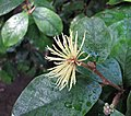 Trichocladus ellipticus -比利時國家植物園 Belgium National Botanic Garden- (9213292303).jpg