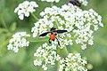 Trichopoda pennipes 05-30-2020.jpg