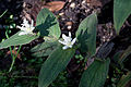 Tricyrtis hirta 'Alba' - Fleurs.jpg