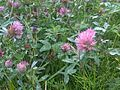 Trifolium pratense wetland 1.jpg